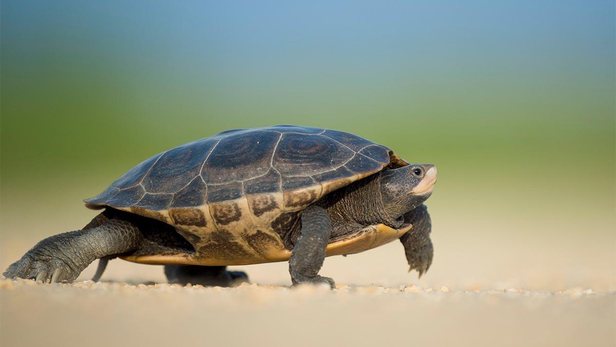 Turtle Steps.